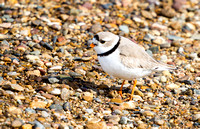 Piping Plover in a North Dakota Marsh-4