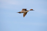 Pintails Flying-4