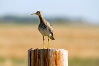 Upland Sandpiper on a Post-2
