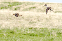 Pintails Flying-15