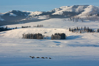 Bison in the Snow, Lamar Valley, Yellowstone National Park, Wyoming