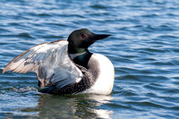 Common Loon-4
