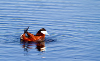 Ruddy Duck Drake Bubbling-4-2
