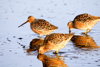 A Flock of Dowitchers on a North Dakota Slough-7