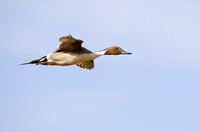 Pintails Flying-16