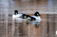 Goldeneyes on a Pond