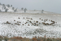 Large Herd of Elk in the Snow, Yellowstone National Park, Wyoming