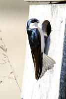 Tree Swallows and a Nesting Box-2