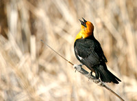 Yellow-Headed Blackbird in the Marsh