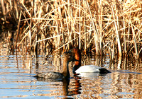 Canvasback Ducks in a North Dakota Marsh