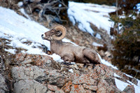 Winter Bighorn Sheep in Yellowstone National Park-3