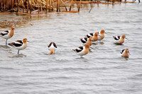 Large Flock of American Avocets-2-2