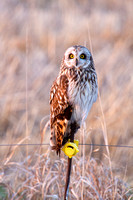 Short-Eared Owl on a Fence Post-4