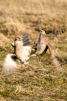 Sharptail Grouse Fighting-3