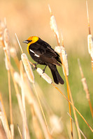 Yellow-Headed Blackbird in the Marsh-9