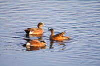 Widgeon on a Pond-4