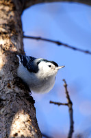 White-breasted Nuthatch-2