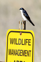Tree Swallow on a Sign-5
