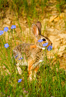 Cottontail rabbit and flowers in the North Dakota badlands (1 of 1)