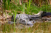 Alligator in the Swamp-12