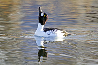 Goldeneyes Displaying-8