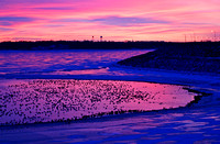 Canada Geese at Dawn on Lake Sakakawea, North Dakota-2
