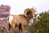 Desert Bighorn Sheep, Canyonlands National Park, Utah-8