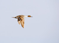 Pintails Flying-11