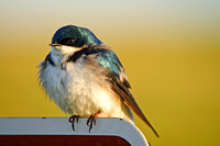 Tree Swallow on a Sign-8