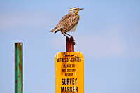 Western Meadowlark on a Post-4