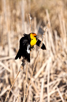 Yellow-Headed Blackbird in the Marsh-12