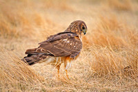 Northern Harrier on the Ground