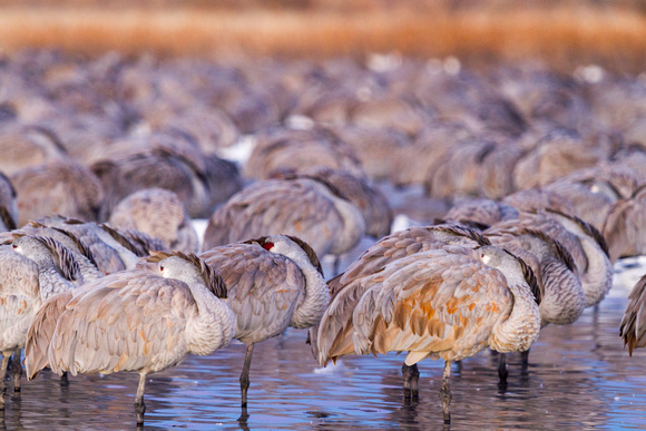 Roosting Sandhill Cranes at Dawn, Bosque del Apache National Wildlife Refuge, New Mexico