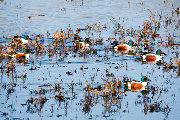 Northern Shovelers on a Pond-4