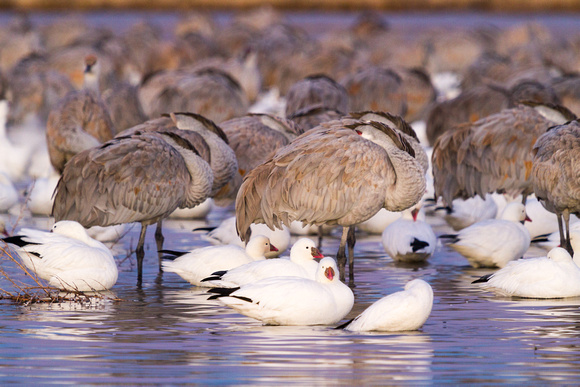 Roosting Sandhill Cranes and Snow Geese at Dawn, Bosque del Apache National Wildlife Refuge, New Mexico