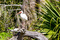White Ibis in the Everglades-7