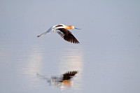 American Avocet in Flight-9