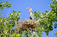 Great Blue Heron in a Tree-Top Nest