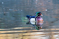 Wood Duck Reflection-1