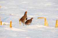 Hungarian Partridge in the Snow (3 of 5)