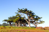 Trees near the Beach, Monterey, California