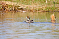 Pintail on a Pond