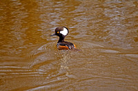 Hooded Merganser on a River