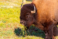Bison Feeding, North Dakota Badlands-2