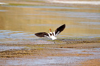 American Avocet in Flight-10