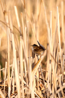 Marsh Wren in a North Dakota Slough