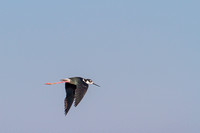 Black-Necked Stilt-4