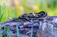 Garter Snakes in a Group