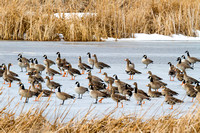 Whitefront Geese and Canadas-2