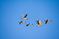 Pintails Flying-2
